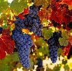 Ухаживаем за виноградом в сентябре