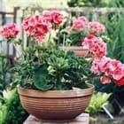 Время возвращать домой балконные цветы