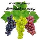 Как укрыть виноград на зиму в средней полосе России