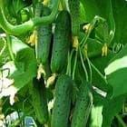 Как выбрать семена огурцов