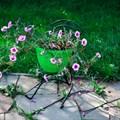 Цветочница садовая